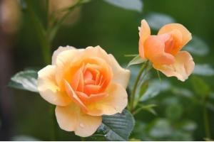 Róże - odpowiednia pielęgnacja gwarancją pięknej rośliny